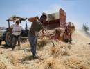صور : دراسة القمح في مدينة دورا جنوب الخليل