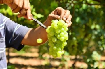 مزارعو العنب في غزة يتكبدون خسائر باهظة في ظل تدهور اقتصادي حاد