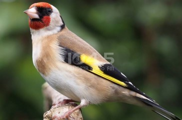 فيديو : طائر الحسّون يعود إلى الطبيعة